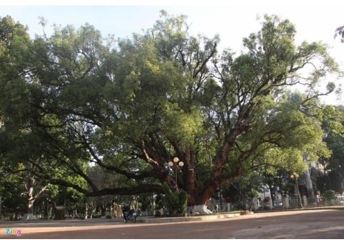Cây Dó Bầu (cây Trầm Hương)
