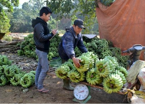 Cây Chuối Tây Thái Lan
