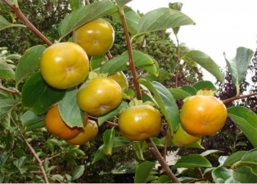 Cây Hồng Giòn