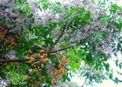 Cây Xoan Đào