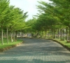 Cây Bàng Đài Loan