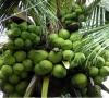 Cây Dừa Xiêm Lùn
