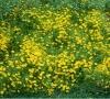 Cây Hoa Cúc Sao Băng