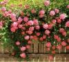 Cây Hoa Hồng Leo Pháp